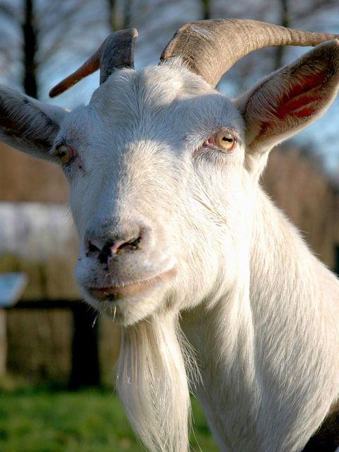 """""""de geit is de koe van de arme"""""""